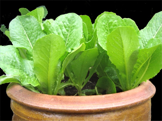 container gardening growing lettuce in pots. Black Bedroom Furniture Sets. Home Design Ideas