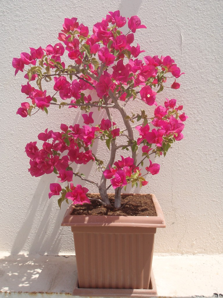 how to make bougainvillea bonsai bloom