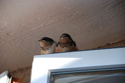 Barn Swallow Fledglings