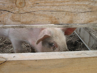 pig+giving+me+the+eye+Apr+12+08 Life Lessons From a Pig