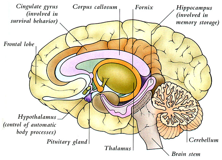 brain thalamus function - photo #5