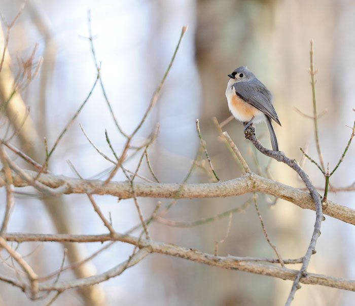 A Tufted Titmouse along the Little Miami River shows a touch of winter's magic.