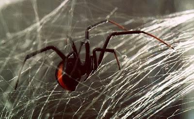 Katipo_Spider_Latrodectus