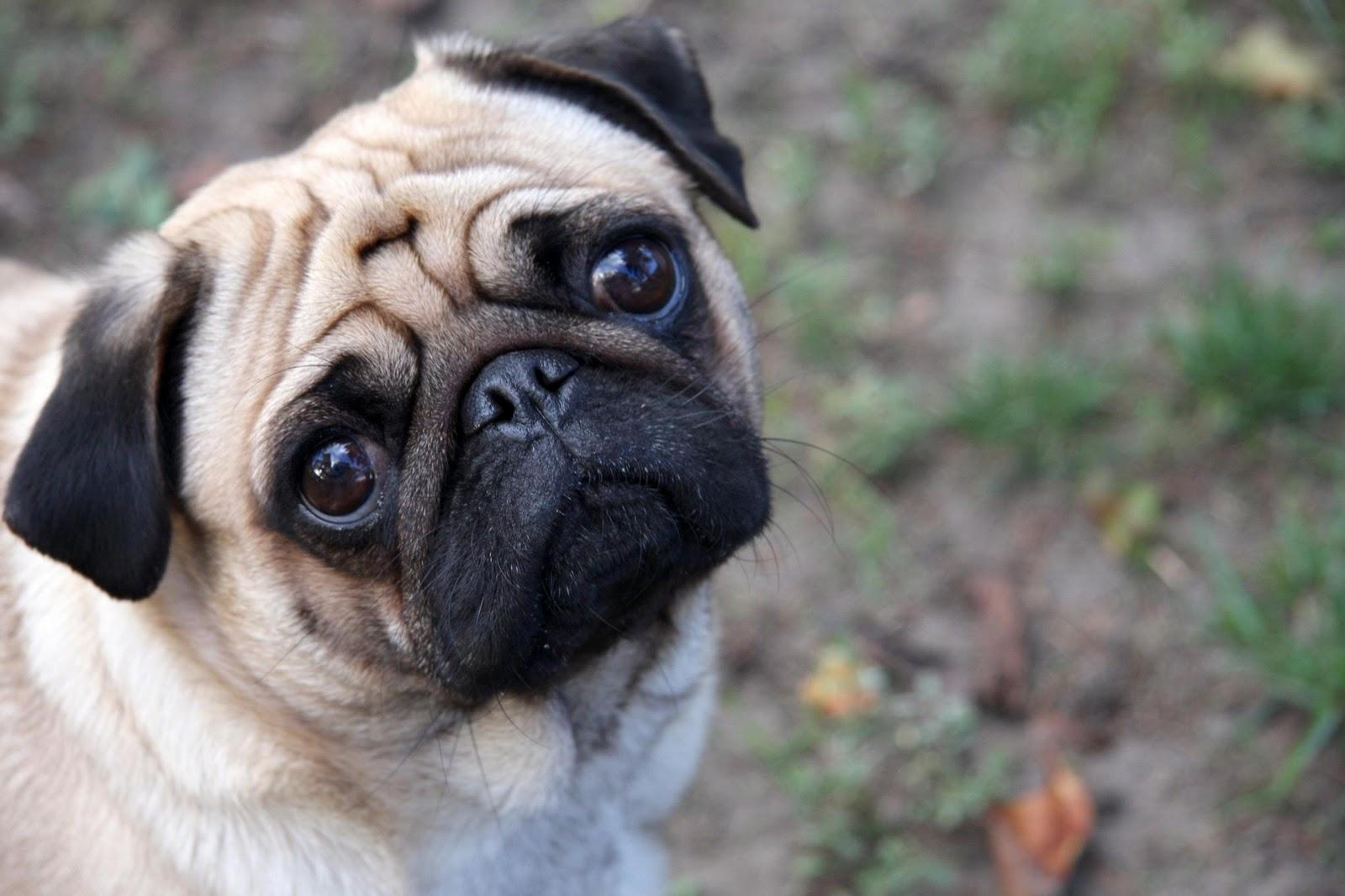 http://1.bp.blogspot.com/_yUH2SOtGH0k/TMb7wl2wM1I/AAAAAAAAVrU/ayw95noQ1dA/s1600/doggie-sad-pug-wallpaper-HD.jpg