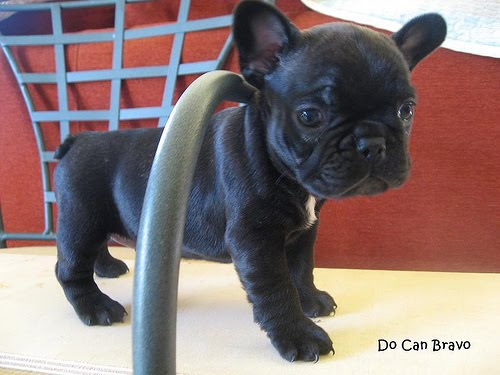Amazing French Bulldog Chubby Adorable Dog - 2180464590_69e730d773  Collection_77574  .jpg