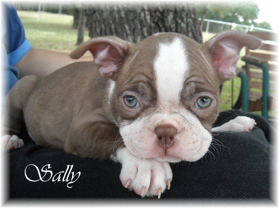 Bremer Boston Terriers Red And White Boston Terrier Puppies