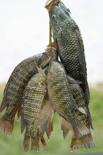 Tilapia Fish Bad For The Heart
