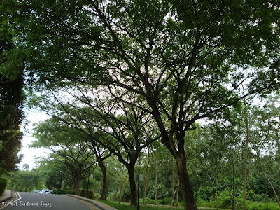 Singapore Trees Picture 5