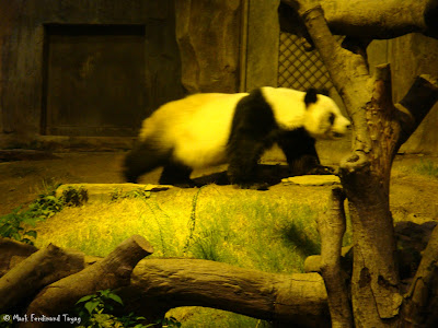Giant Panda Habitat Ocean Park Hong Kong Photo 5