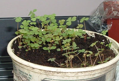 [Photo: supposed to be Zizia aurea seedlings, but more likely some kind of Oxalis.]