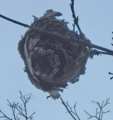 [Photo: wasps' nest in winter © Nicky Sztybel.]