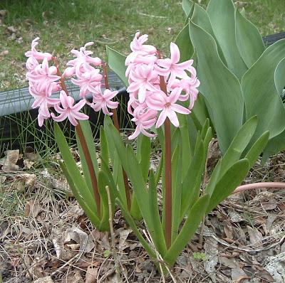 [Photo:  pink Hyacinthus orientalis.]