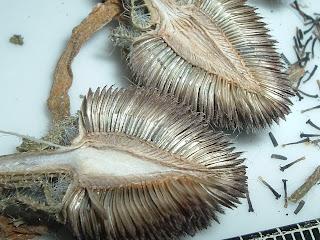 [Photo: seeds of Rudbeckia hirta (black-eyed Susan).]