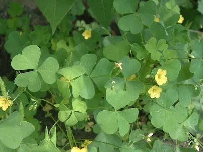 [Photo: Oxalis foliage and flowers.]