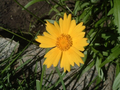 [Photo: Coreopsis lanceolata flower]