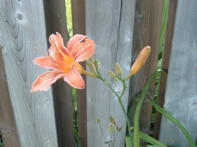 [Photo: Hemerocallis]