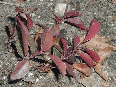 [Photo: Gaultheria procumbens shows reddened foliage at the end of winter.]