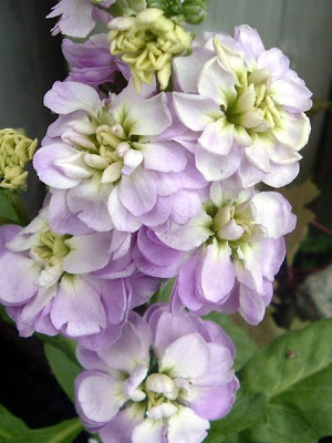 [Photo: Matthiola incana 'Midget Lavender'