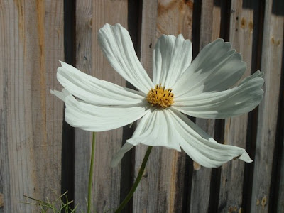 [Photo: Cosmos bipinnatus Purity
