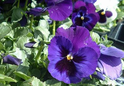 [Photo: Viola x wittrockiana Delta Premium Neon Violet.]