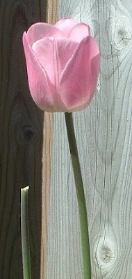 [Photo: pale pink tulip.]