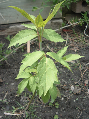[Photo: Acer negundo seedling.]