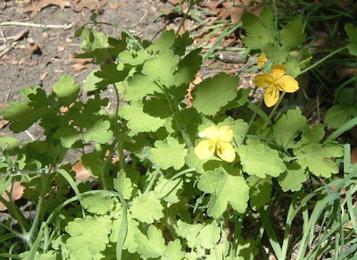 [Photo: Chelidonium majus leaves and flowers.]