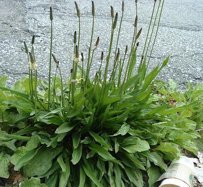 [Photo: Plantago lanceolata.]