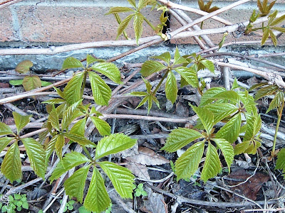 [Photo: Parthenocissus quinquefolia: new foliage.]