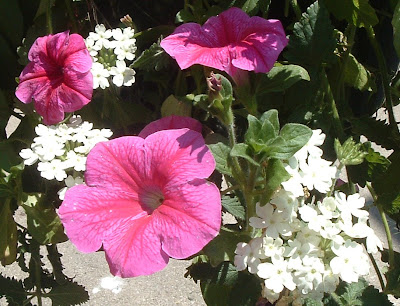 [Photo: bright pink petunias and white verbena.]