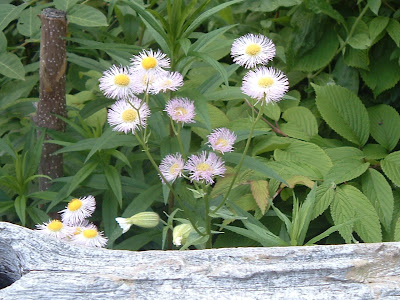 [Photo: Erigeron philadelphicus.]