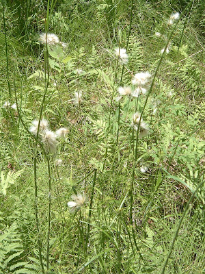 [Photo: Eriophorum gracile.]