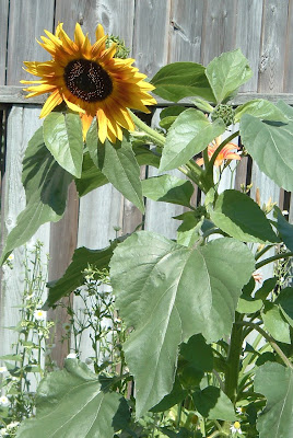 [Photo: Helianthus annuus in bloom.]