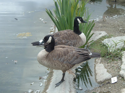 [Photo: Canada geese in High Park.]