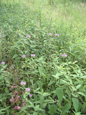 [Photo: Monarda fistulosa in bloom.]