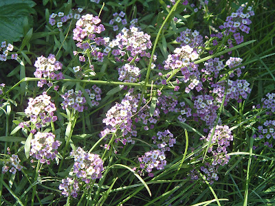 [Photo: Lobularia maritima.]