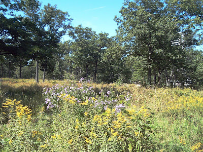 [Photo: Asters and goldenrod blooming in High Park.]