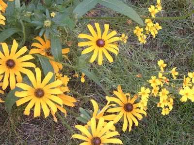 [Photo: Rudbeckia hirta and Tagetes tenuifolia 'Lulu'.]