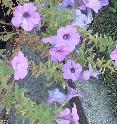 [Photo: Petunia 'Sanguna Lavender Vein']