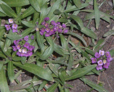 [Photo: purple Lobularia maritima.]
