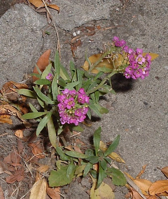 [Photo: pink Lobularia maritima.]