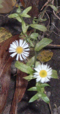 [Photo: Erigeron annuus.]