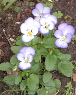 [Photo: Viola cornuta 'Penny Purple Picotee'