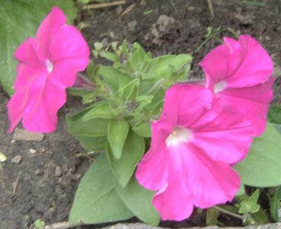 [Photo: Petunia 'Carmine Madness®']