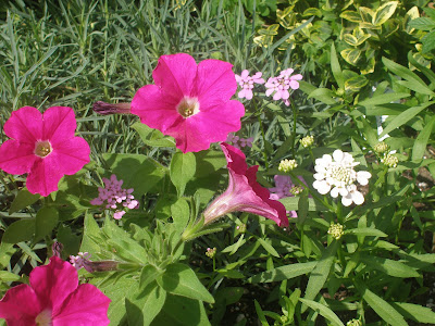 [Photo: Petunia 'Carmine Madness'® and Iberis umbellata 'Fairy Mixed'.]