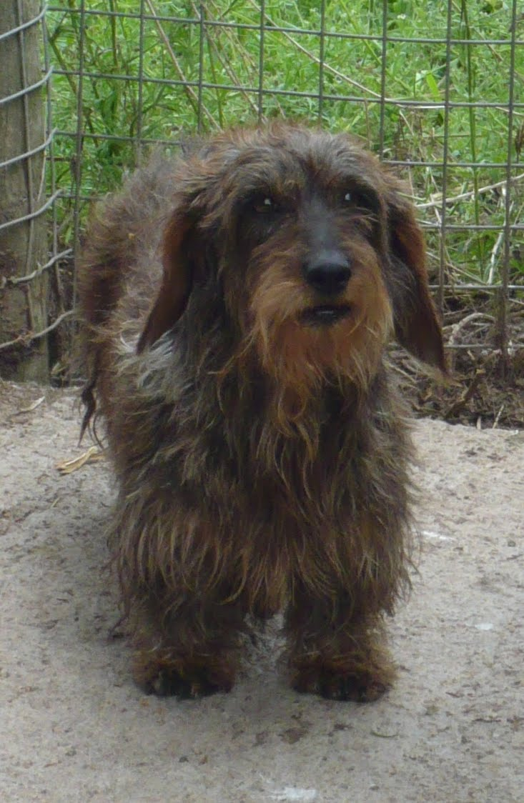 Maria\'s Blog: Standard Wire Haired Dachshund Puppies