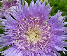 """floral """"anenome"""""""