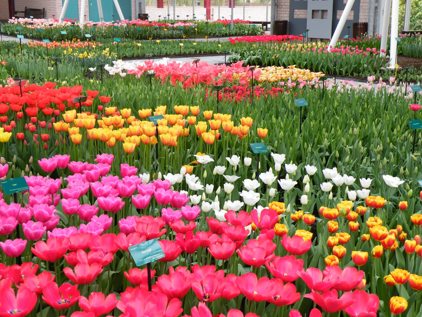keukenhof holland s most beautiful flower garden
