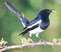 The National Bird of Bangladesh