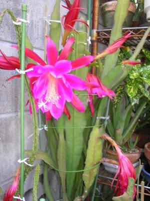 Harga Tanaman Bunga Wijaya Kusuma